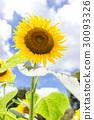夏日的天空和向日葵(垂直位置) 30093326