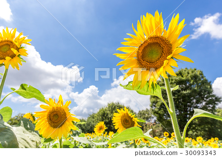 活泼的向日葵 30093343