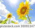 Sunflowering向日葵 30093347