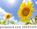 여름 하늘과 해바라기 30093349