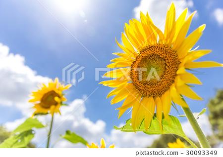 夏天天空和向日葵 30093349