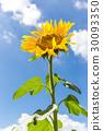 孤零零的向日葵 30093350