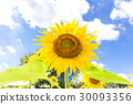 开花在光的向日葵 30093356