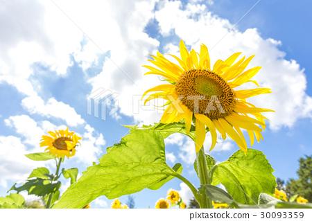 高大的向日葵花 30093359