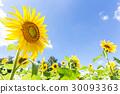 夏天蓝天和向日葵花 30093363