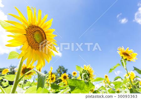 夏天藍天和向日葵花 30093363