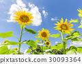 向日葵的花朵 30093364