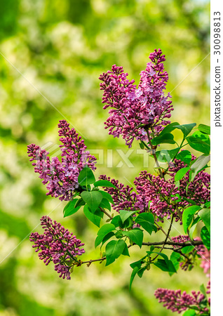 purple lilac blossom in garden at springtime 30098813