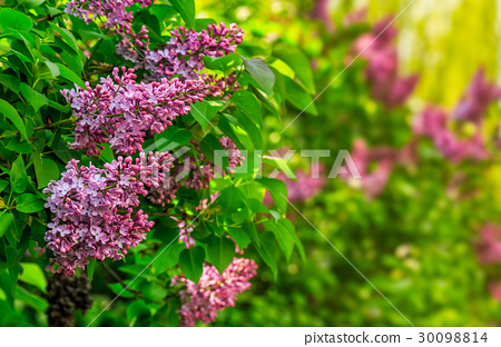 purple lilac blossom in garden at springtime 30098814