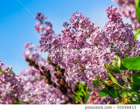 purple lilac blossom in garden at springtime 30098815