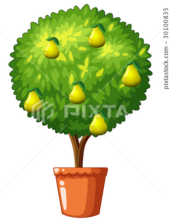 Potted plant with pear fruits 30100835