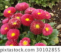 雛菊 花朵 花 30102855