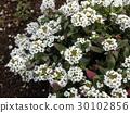 香雪球 花朵 花 30102856
