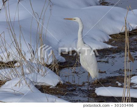 หิมะ,นก,สัตว์ 30103496