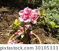 蓓蕾 粉色 常青灌木 30105333