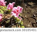 蓓蕾 粉色 常青灌木 30105401
