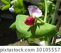 tutankhamen bruno peas, bloom, blossom 30105557