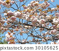 double-flowered cherry tree, double cherry blossoms, bloom 30105625