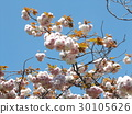 double-flowered cherry tree, double cherry blossoms, bloom 30105626