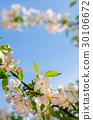 apple, tree, background 30106672