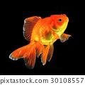 金鱼 水下 水生的 30108557