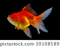 gold fish isolated on back background 30108589