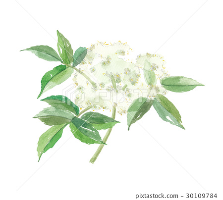 flower, flowers, white background 30109784