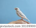 禾雀 爪哇雀 小鸟 30109900