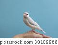 禾雀 爪哇雀 小鳥 30109968