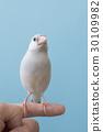 禾雀 爪哇雀 小鸟 30109982