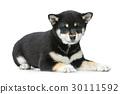 pet black puppy 30111592