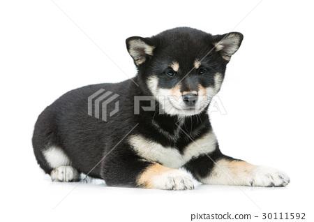 Beautiful shiba inu puppy isolated on white 30111592