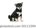宠物 黑色 小狗 30111594