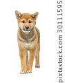 Beautiful shiba inu puppy isolated on white 30111595