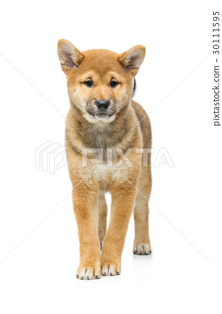 Beautiful shiba inu puppy isolated on white 30111595