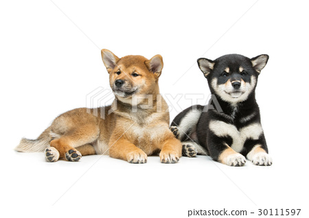 Beautiful shiba inu puppies isolated on white 30111597