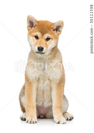 Beautiful shiba inu puppy isolated on white 30111598