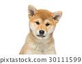 宠物 棕色 褐色 30111599