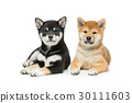 Beautiful shiba inu puppies isolated on white 30111603