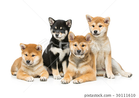 Beautiful shiba inu puppies isolated on white 30111610