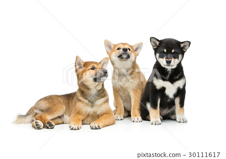 Beautiful shiba inu puppies isolated on white 30111617