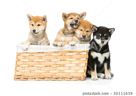 Beautiful shiba inu puppies in basket 30111639