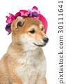 宠物 棕色 褐色 30111641