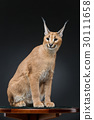 Beautiful caracal lynx over black background 30111658