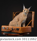 Beautiful caracal lynx over black background 30111662