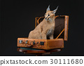 Beautiful caracal lynx over black background 30111680