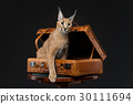 Beautiful caracal lynx over black background 30111694