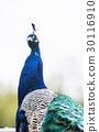 蓝孔雀 孔雀 蓝鸟 30116910