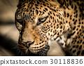 Sri Lankan leopard 30118836