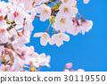 樱花·盛开 30119550